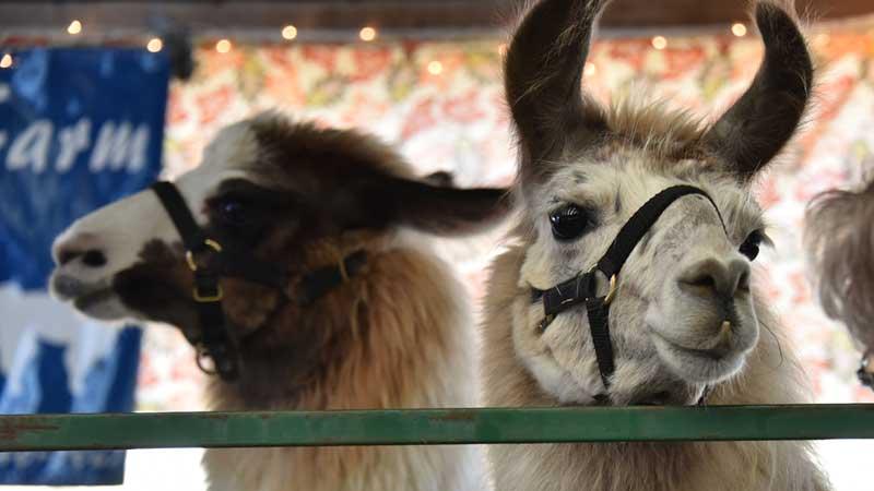 Hopkinton State Fair Llama Show